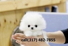 je Excellent Male And Female Pomeranian pups in Houston, Texas