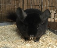 7 Month Old Dark Ebony Male Chinchilla -- super sweet! in Chicago, Illinois