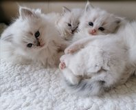 #Affectionate Ragdoll kittens Available #GCCA NON ACTIVE(only PET)# in Clarksville, Tennessee