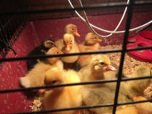 HAY $1   ducklings , goosling sale in Naperville, Illinois