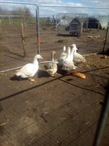 GEESE and a few Ganders  now available, in Lakenheath, UK