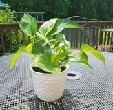 Pothos Plant in White Ceramic Pot in Clarksville, Tennessee