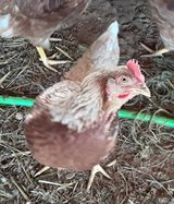 laying hens in Fort Campbell, Kentucky