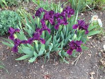 Iris Purple Early short and Bearded Purple Tall in Orland Park, Illinois