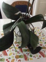 House plants. Orchids, large mature x2 + care accessories in Ramstein, Germany