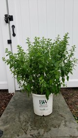 Lemon Balm Herb Plant - 3' Tall x 3' Wide in Naperville, Illinois