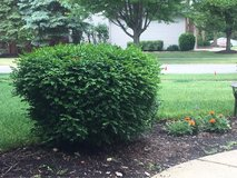 Evergreen bush in Naperville, Illinois