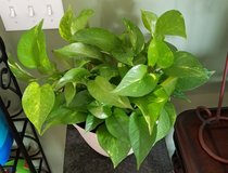 Large Pothos Plant in Clarksville, Tennessee