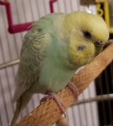 Reward! Please help me find my Parakeet in Naperville, Illinois
