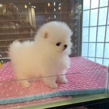 Beautiful Pomeranian puppies just turned 12 weeks and are now ready to meet their new loving family in Pasadena, Texas