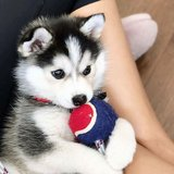 Super adorable Siberian Husky puppies. So gentle and affectionate in Pasadena, Texas