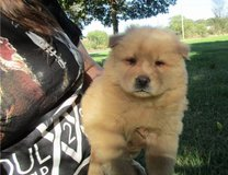 We have a beautiful litter of 8 Chow Chow pups. They come with AKC registration papers, in Pasadena, Texas