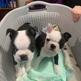 Very healthy and cute Boston Terrier puppies for you.They are vet checked, had their shots in Pasadena, Texas