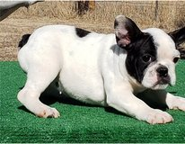 Super adorable French Bulldog puppies available and ready for new homes in Pasadena, Texas