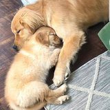 Golden Retriever ,AKC registered, male and female. Up to date on shots in Pasadena, Texas