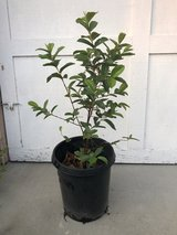 "Mexican Guava/Guayaba Fruit Tree 48"" includes pot and actual plant is 36"" in Camp Pendleton, California"