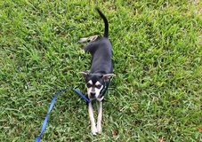 Chihuahua Mix Puppy in The Woodlands, Texas