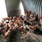 Laying hens for sale, (Rescue) £4 each, in Lakenheath, UK