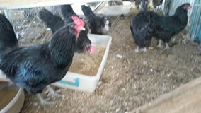 Ameraucana Chicken Laying Hens-Rare Colors in Yucca Valley, California