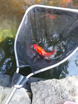"8""-10"" large pond gold fish in Fort Knox, Kentucky"