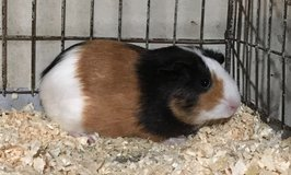 """10 Week Old Baby Guinea Pig -- Tricolor (Black / Red / White) American Female -- """"Valerie"""" in Chicago, Illinois"""