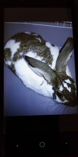 Two  litter box trained bunnies left looking for a good adult home in Chicago, Illinois