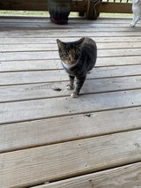 free cat 3 yrs old in Clarksville, Tennessee