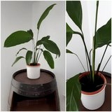 house plant Spathiphyllum in Ramstein, Germany
