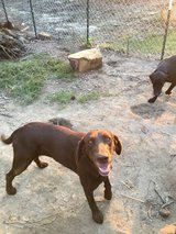 2 1/2 yr old female Chocolate Lab in Leesville, Louisiana