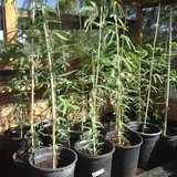 Mesquite trees 5 gal container - drought resistant shade trees-thornless in Yucca Valley, California