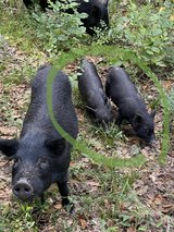 American Guinea Hogs - female - 3 months old in The Woodlands, Texas