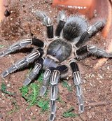 tarantulas for rehome/trade in Plainfield, Illinois