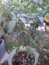 3 mature  Pepper Plant in Kingwood, Texas
