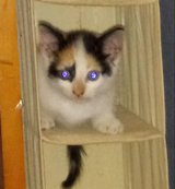 Female Kitten To Good Home in Cleveland, Texas