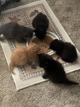 kittens in Clarksville, Tennessee