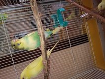 Parakeets in bookoo, US