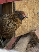 Hens Chickens POL in Kingwood, Texas