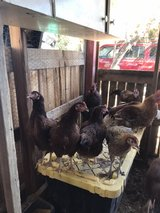 chickens in Yucca Valley, California
