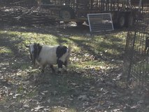 Billy herd goat in Cleveland, Texas
