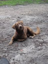 One Chocolate Lab male1\4 border collie Free in Leesville, Louisiana
