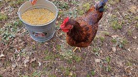 Rhode Island Red rooster in Clarksville, Tennessee