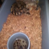 BALL PYTHONS AND RATS WITH REHOMING FEE in Warner Robins, Georgia