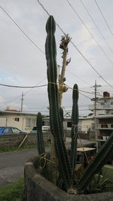 queen of the night kactus 6'9'' tall in Okinawa, Japan