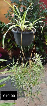 Spider Plant in Hanging Pot in Ramstein, Germany