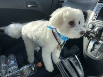 **Available** Rehoming Maltese/poodle mix in Okinawa, Japan