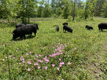 American Guinea Hogs - need to sell! in Conroe, Texas