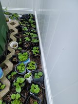 Organic Sweet Purple Violets, Small Plants, Perennial in Naperville, Illinois