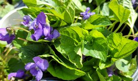Organic Sweet Purple Violet Plant, Large Pots, Perennial in Naperville, Illinois