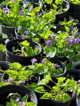 Organic Sweet Purple Violets, Large Pots, Perennial in Naperville, Illinois