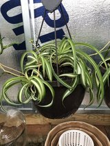 Live Spider Plant Hanging Baskets in Byron, Georgia